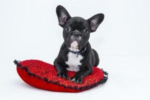 bulldog-1047518_640