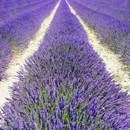 lavender-field-1595576_640