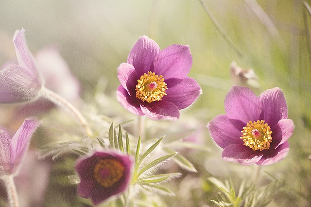 common-pasque-flower-1365647_640